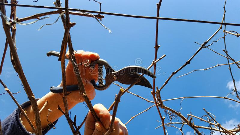 Man pruning grape. In a vineyard selective focus on hand royalty free stock photos