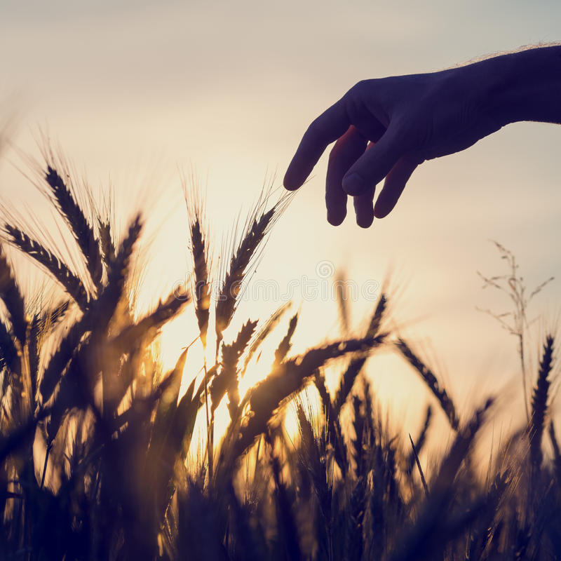 Man reaching out to touch wheat ears. Silhouette of the hand of a man reaching out to touch ears of golden wheat growing in a field at sunrise or sunset in a stock images