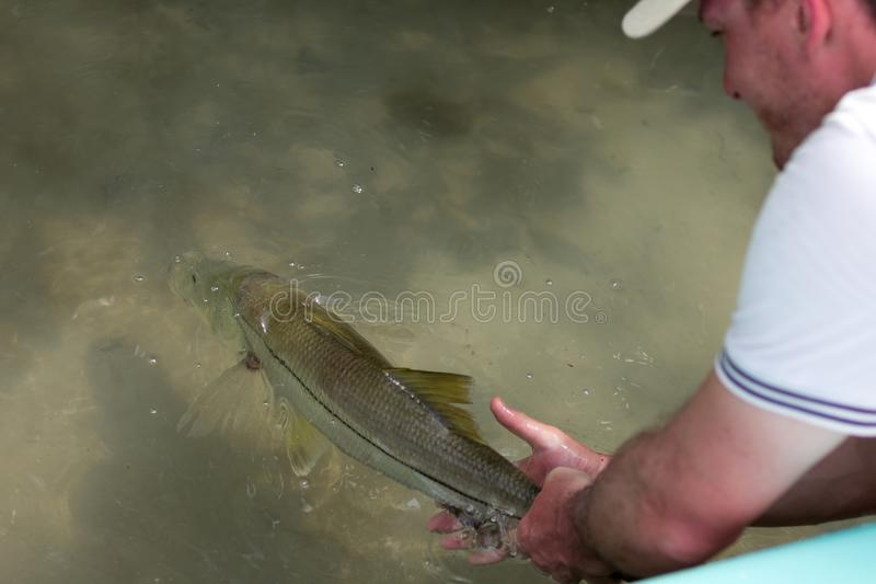 Man releasing a good size Snook. A man releasing a Snook fish caught with lure, somewhere on the flats of Belize next to a mangrove. This fish is known under the royalty free stock photos