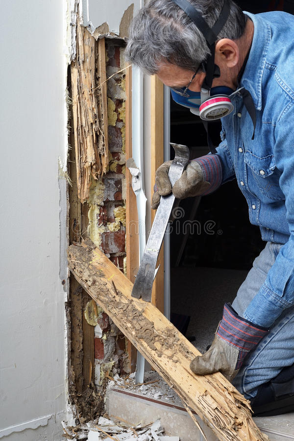 Man removing termite damaged wood from wall stock photography