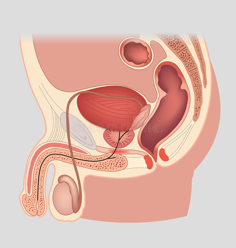 Man Reproductive System Median Section Male Genital Organs Stock