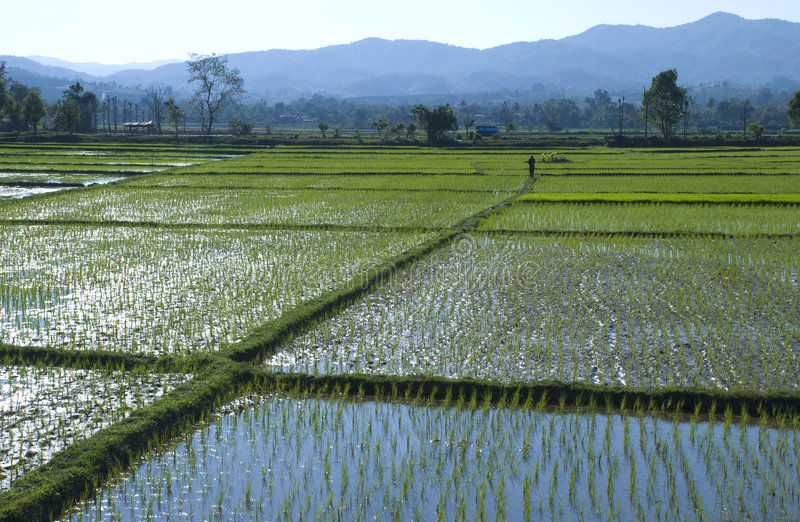 Man in a rice field stock images