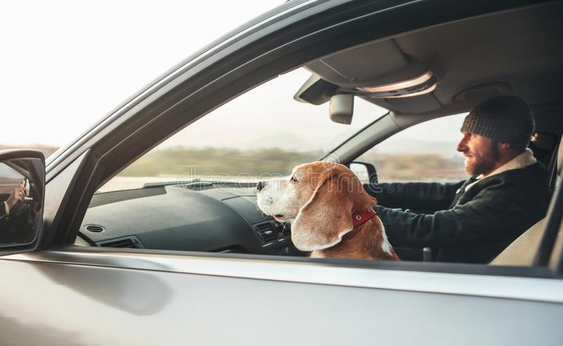 Man riding a car and his beagle dog companion sits near him on front seat stock images