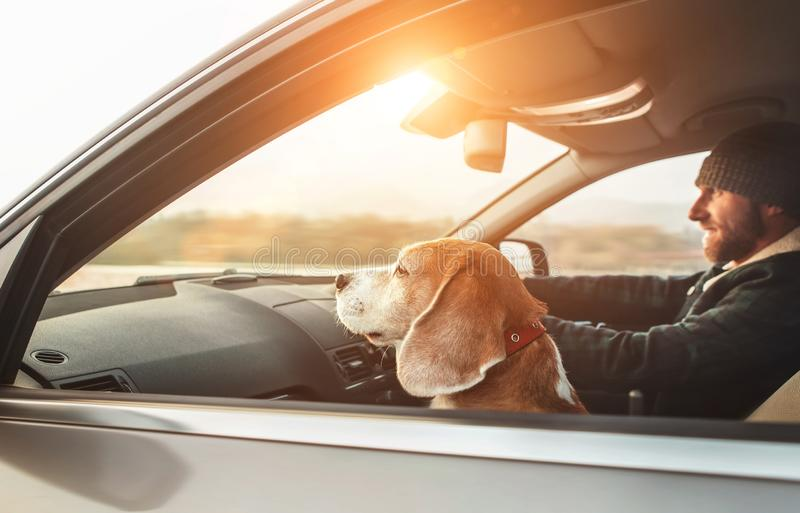 Man riding a car and his beagle dog sit inside with him. Travel with pets concept image royalty free stock photos