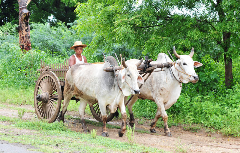 A man riding ox cart in Bagan, Myanmar royalty free stock photos