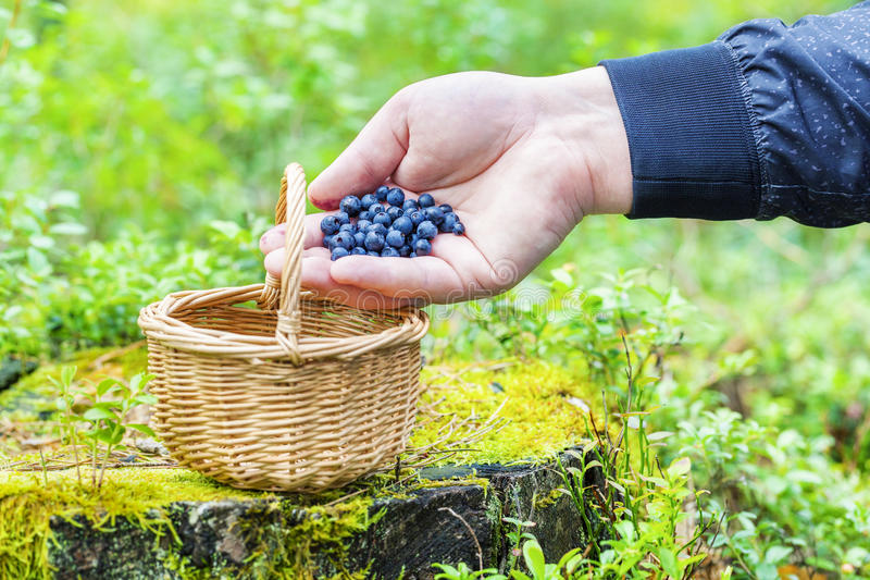 Man's hand with blueberries near basket stock photo