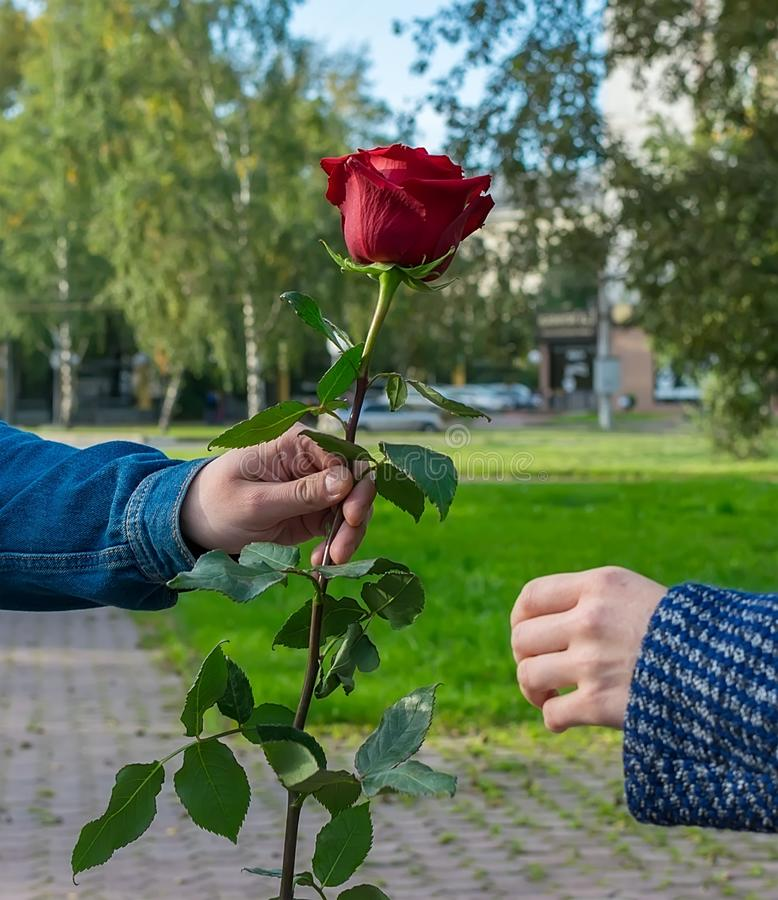 A man`s hand gives the girl a red rose flower. In the city park on the footpath a man`s hand holds out and gives the girl a red rose flower stock image