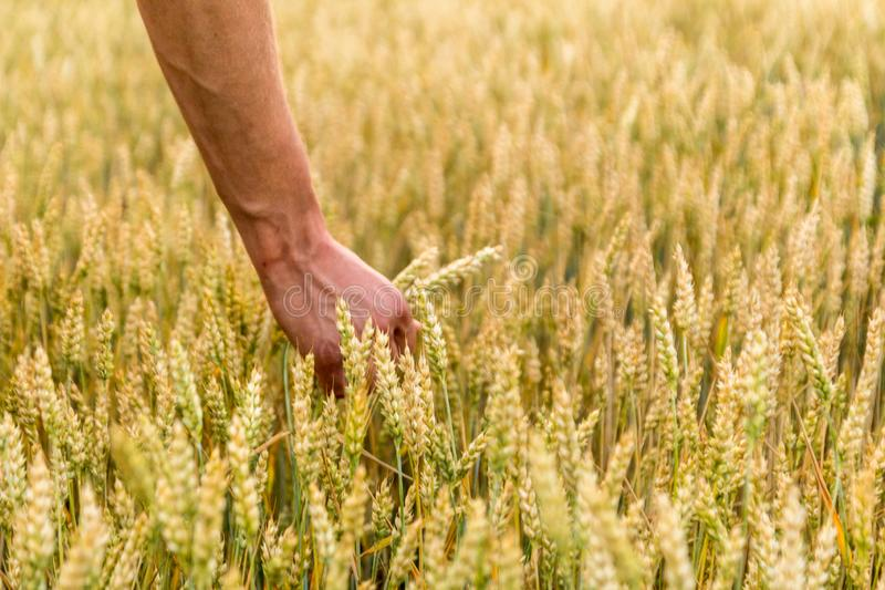 Man`s hand holding barley. Agriculture. Sunset. Farmer touching his crop with hand in a golden wheat field. Harvesting, organic. Farming concept. Selective royalty free stock image