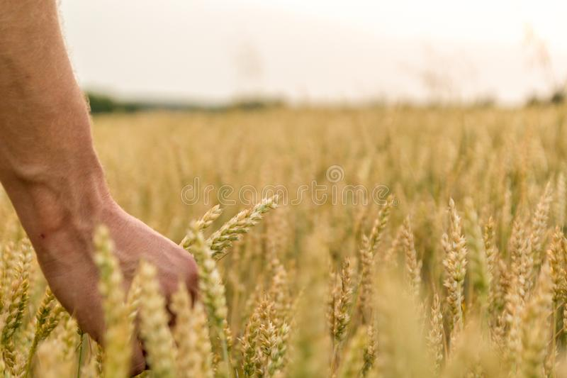 Man`s hand holding barley. Agriculture. Sunset. Farmer touching his crop with hand in a golden wheat field. Harvesting, organic. Farming concept. Selective stock photos