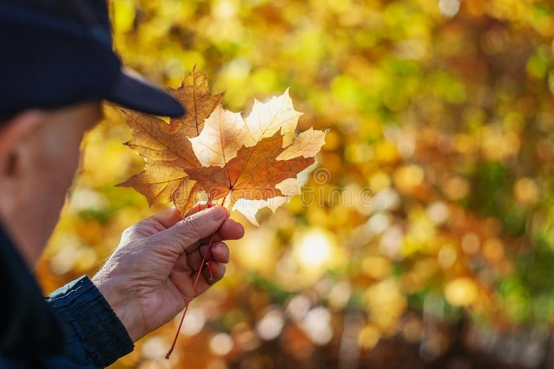 A man`s hand holds maple leaves on a beautiful yellow background of autumn foliage royalty free stock images