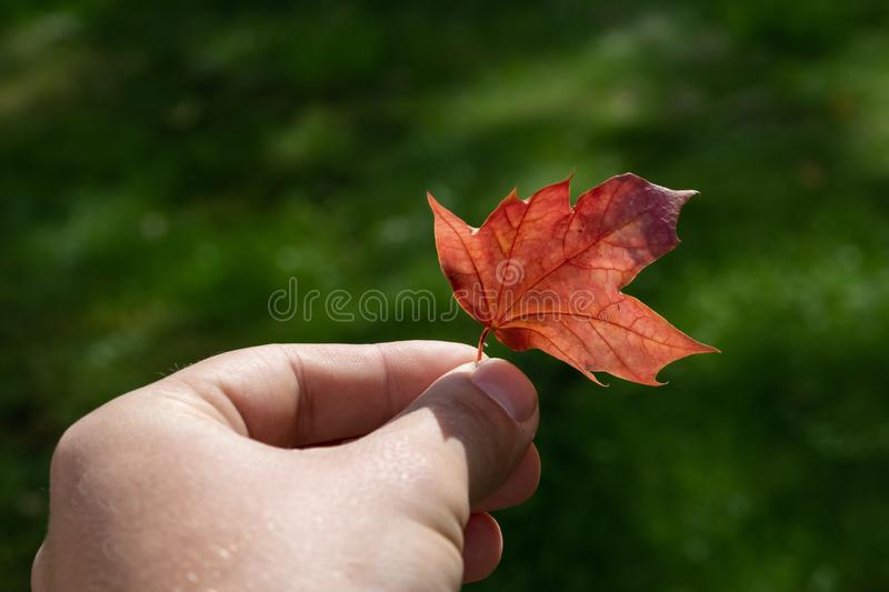 A man& x27;s hand holds a red maple leaf on a background of green grass royalty free stock photography
