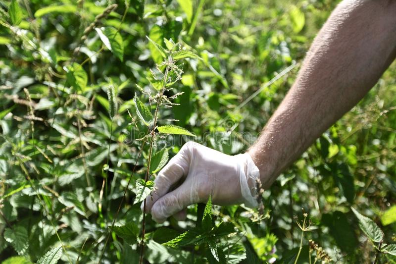 Man's hand picking up nettle. Man's hand in rubber glove picking up green nettle royalty free stock photography
