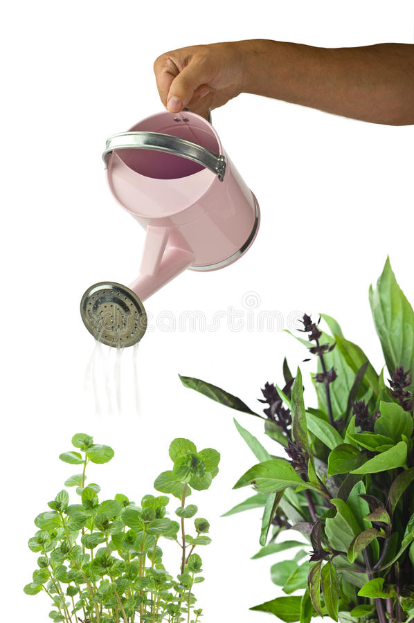 Man's hand with pinck watering stock photography