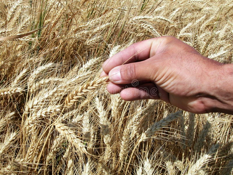 Download Man's Hands Holding Wheat Ears Stock Photo - Image: 10210376