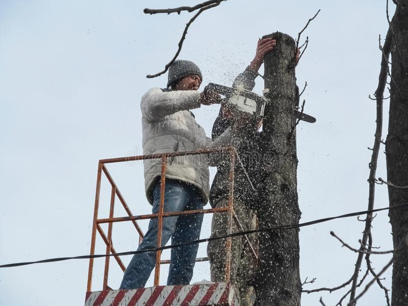 A man saws a tree trunk with a chainsaw, and a lot of sawdust flies around, close-up. Cutting trees in hard-to-reach places among royalty free stock photos