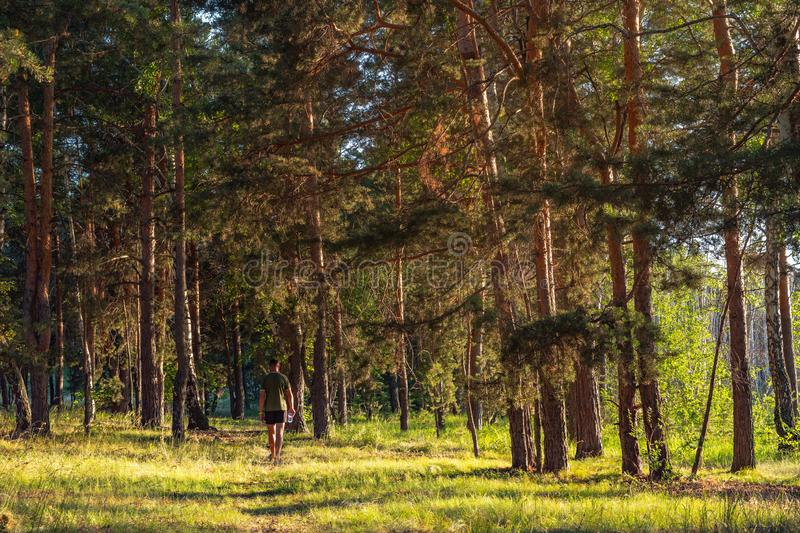 A man in shorts and a T-shirt walks through the pine forest in the early morning. View of the back. Glade with a path lit by the rays of the morning sun stock photo