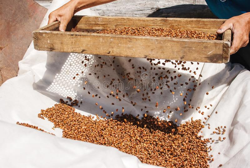 Man sifting cedar nuts through a sieve. In siberian village. hands closeup royalty free stock photography