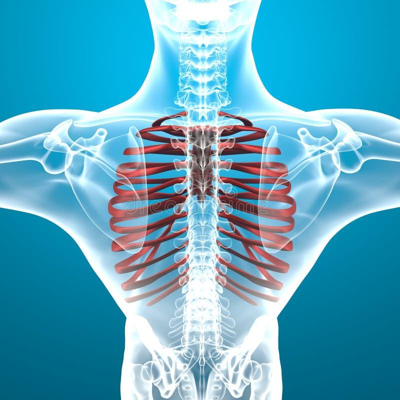 Man Skeleton Ribcage Pain Breathing Stock Illustration