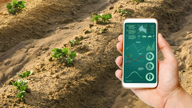 A man with a smartphone analyzes state young sprouts of potatoes. Planting potato plantations. protection from pests. Agribusiness stock photos