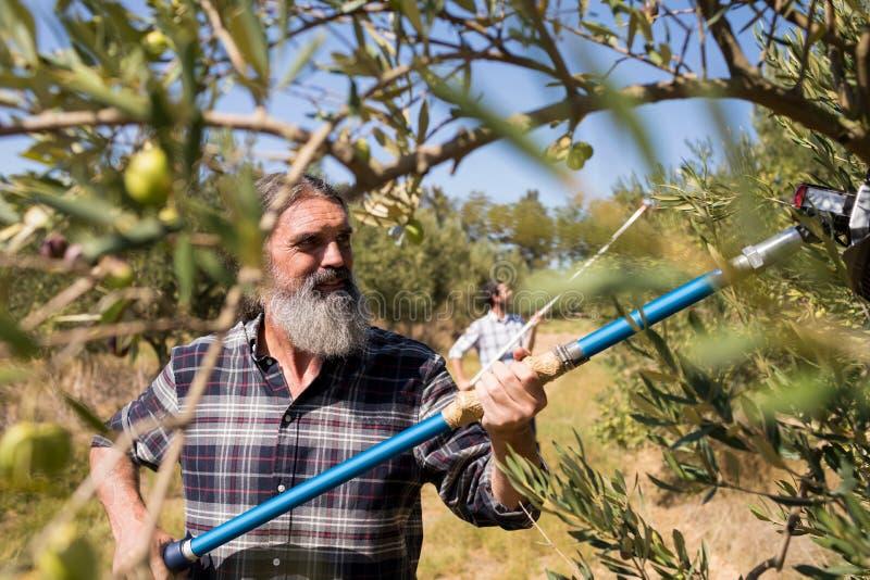 Man som använder det olivgröna plockninghjälpmedlet, medan skörda arkivfoton
