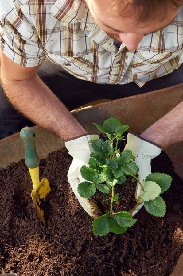 Man som arbeta i trädgården, transplanterar och lägger in växter arkivbild