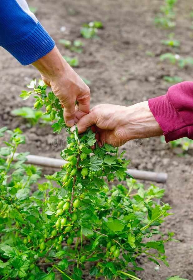 Man som att bry sig för krusbärbuske i utomhus- trädgård arkivbild
