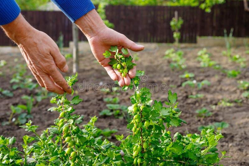 Man som att bry sig för krusbärbuske i utomhus- trädgård arkivfoto