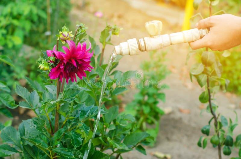 Man som bevattnar blommor i trädgårds- mitt på en solig dag rabatt bakgård slangbevattning arkivbilder