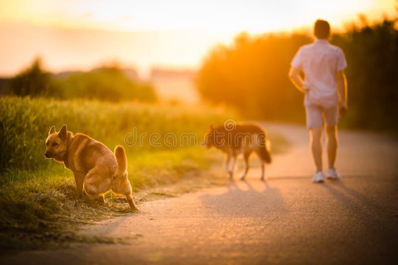 Man som går hans två hundkapplöpning royaltyfri foto