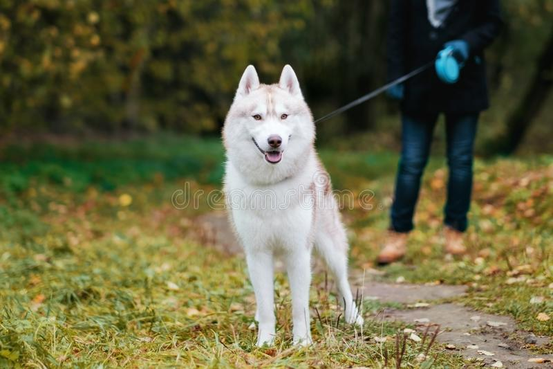 Man som går med en skrovlig hund arkivbild