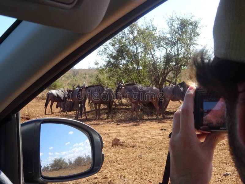 Man som gör fotoet för att samlas av gnu under busken på den Kruger nationalparken Sydafrika arkivbilder