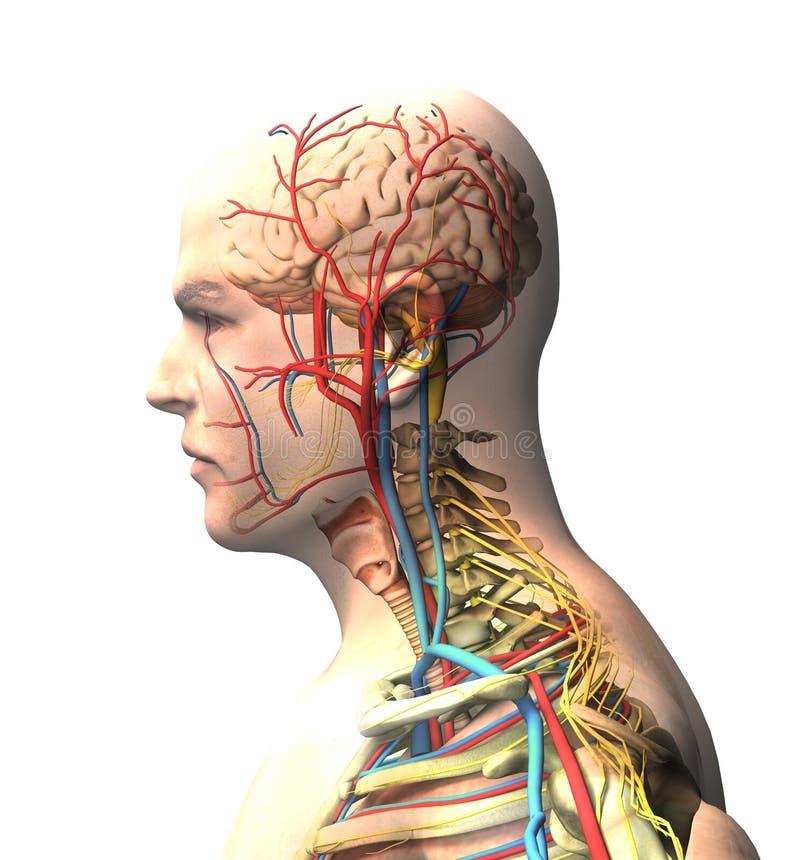 Man som ses från sidan, hjärna, framsida, röntgenstrålesikt av artärer och den åder-, inbindnings- och stödburen royaltyfri illustrationer