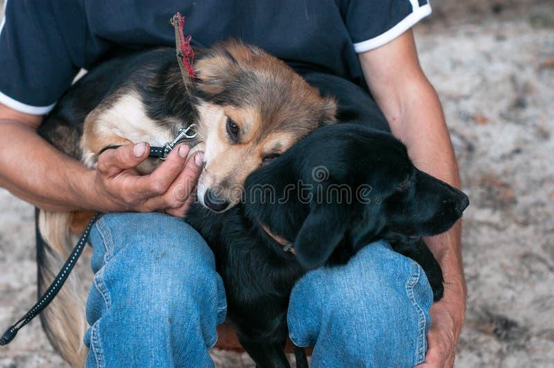 Man som sittting och rymmer två gulliga hundkapplöpning som smyga sig upp och till varandra trycker på arkivbild