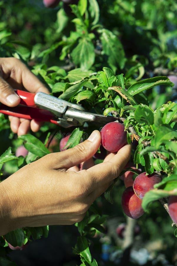 Man som skördar plommoner från ett träd arkivfoto