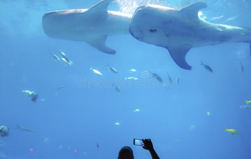 Man som tar bilden av fisken i exotiskt akvarium med den blåa bakgrunden med grön korall royaltyfria bilder
