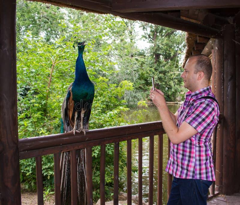 Man som tar bilden av påfågeln i zoo arkivbilder