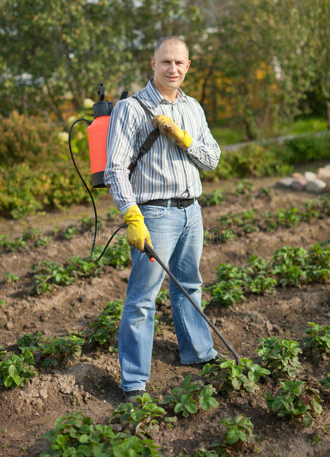 Download Man Spraying Strawberry Plant Stock Image - Image of device, care: 26818727