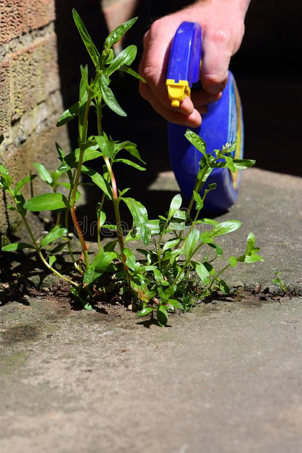 Man spraying weed killer onto a weed. Growing between slabs on a path royalty free stock photography