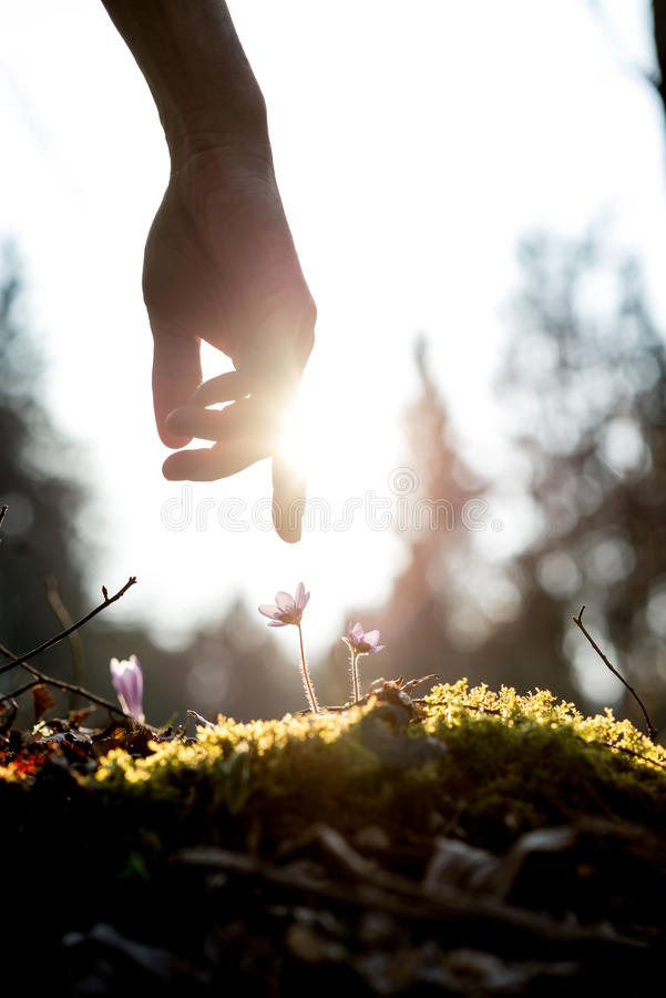 Man in a spring garden. Conceptual image with a close up of the hand of a man above a mossy rock with new delicate blue flowers back lit by the sun in a spring royalty free stock images
