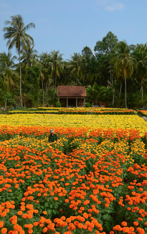 A man standing on the flower field in Tien Giang, Vietnam.  stock photography