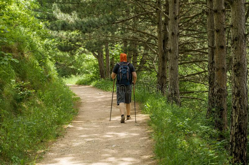 Man with sticks for Nordic walking and backpack engaged in trekking on the path in pine forest or Park. Healthy lifestyle and stay. Man with sticks for Nordic royalty free stock photo