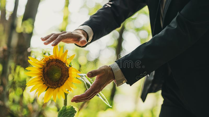 Man holding his hands in protective gesture around a sunflower. Man in a suit holding his hands in protective gesture around a beautiful blooming sunflower royalty free stock photo