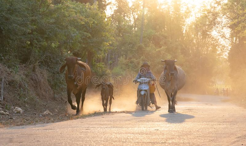 A man taking a group of cow family walking home after work in the evening, Thailand: 2018 stock photography