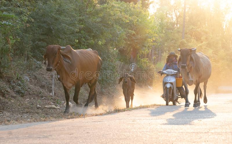 A man taking a group of cow family walking home after work in the evening, Thailand: 2018 royalty free stock photo