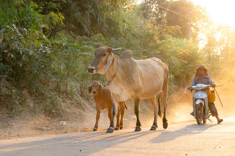 A man taking a group of cow family walking home after work in the evening, Thailand: 2018 royalty free stock images