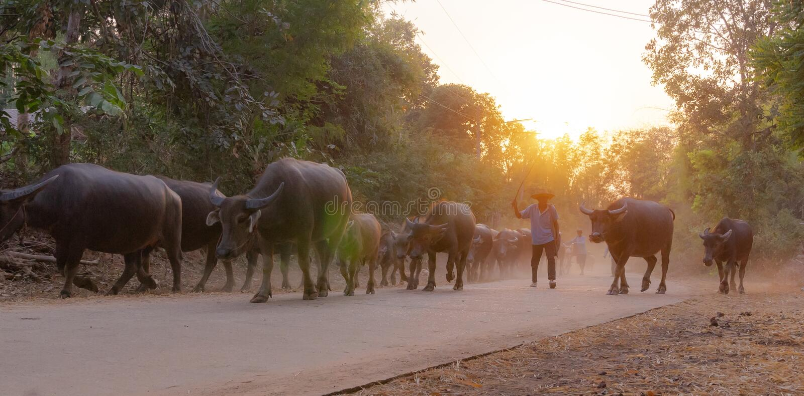 man taking a group of cow family walking home after work in the evening, Thailand: 2018 royalty free stock photos