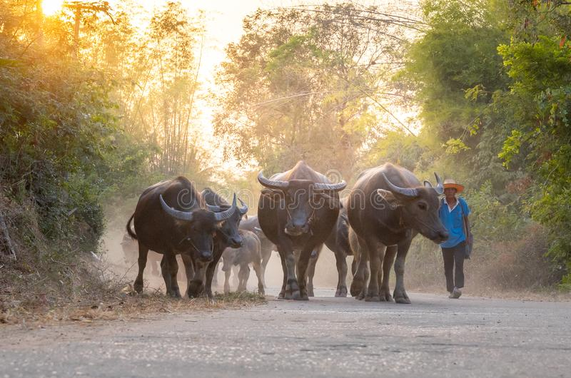 Man taking a group of cow family walking home after work in the evening, Thailand: 2018 royalty free stock photography
