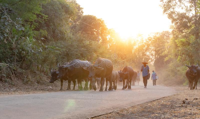 man taking a group of cow family walking home after work in the evening, Thailand: 2018 royalty free stock photo