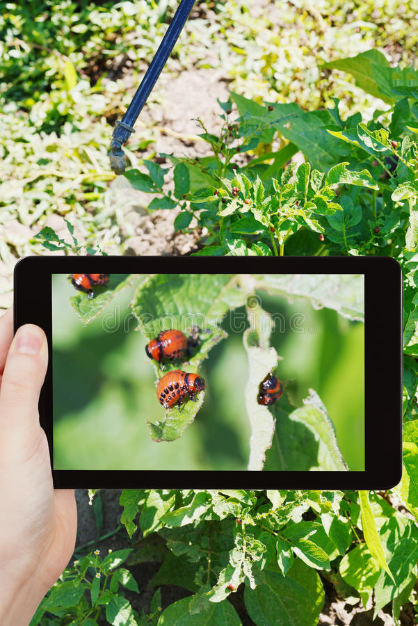 Man taking photo of insecting colorado beetle. Garden concept - man taking photo of insecting colorado potato beetle on mobile gadget in garden royalty free stock photo
