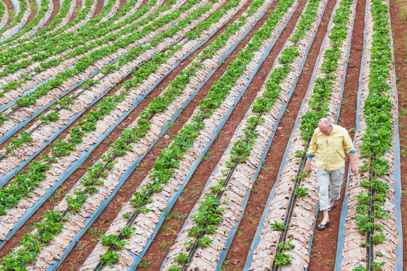Man tends to his strawberry farm. CHIANG MAI, THAILAND - 18 December 2016 - A man tends to his young strawberry crops in his farm in Chiang Mai, Thailand on stock photo
